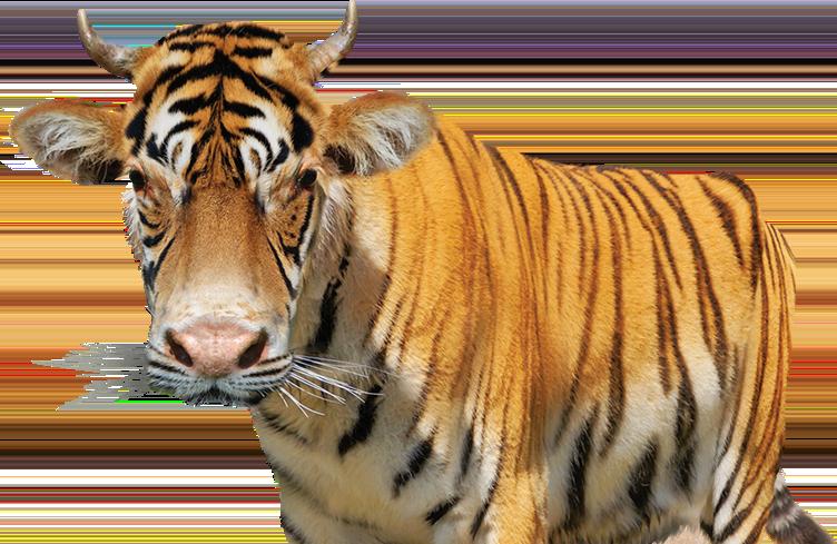 cow-tiger